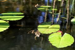 Frog in a pond stock images