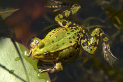 Frog in pool Stock Photos