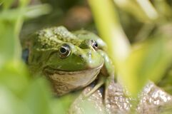 Frog portrait Royalty Free Stock Photos