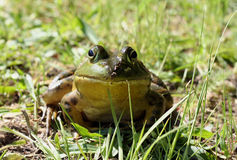 Frog Portrait. Head-on, eye-level portrait of a bullfrog in the grass royalty free stock photo