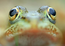 Frog. Portrait amphibian amphibian swamp water green eyes, `wild` fauna jumping macro nice to see a horizontal nature royalty free stock photography