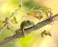 Frog. Portrait amphibian amphibian swamp water green eyes, `wild` fauna jumping macro nice to see a horizontal nature plant autumn stock photos