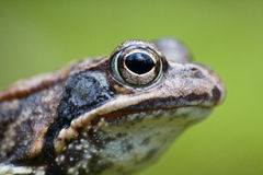 Frog portrait. Common frog portrait with green background Stock Image