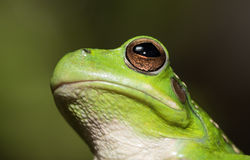 Frog portrait. Hypsiboas riojanus a Bolivian tree frog living in the high valleys of the Andes Stock Photography