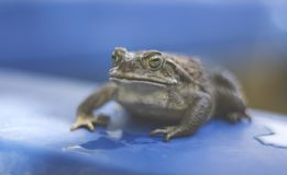 Frog Portrait Outdoor in the Water stock image