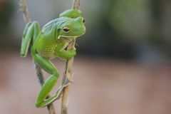 Frog Pose Royalty Free Stock Photos