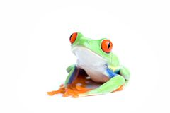 Frog posing isolated on white Stock Image