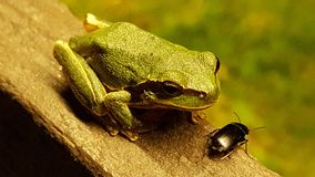 Frog preparing to attack. Water frog preparing to attack a bug Royalty Free Stock Photography