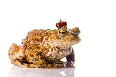 The Frog Prince. The real Frog Prince isolated over white Stock Photos