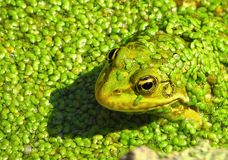 Frog prince macro royalty free stock photo