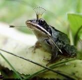 The frog princess Stock Photography