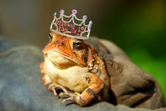 Frog Princess. Serious looking frog with whimsical princess crown on head Stock Photo