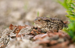 Frog. A profile photo of a frog with rough skin and orange eyes sitting next to a plant. Some bits of sand cover the body Royalty Free Stock Photo