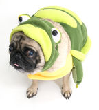 Frog Pug Royalty Free Stock Photo