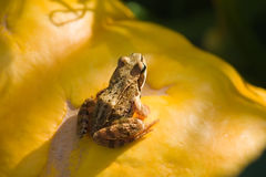 Frog on the pumpkin under sunlight Stock Photos