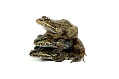 Frog pyramid. Trio of frogs on a white background Royalty Free Stock Photos