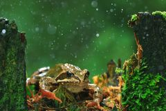 Frog in the rain Royalty Free Stock Photos