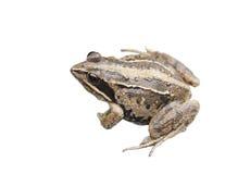 Frog Rana arvalis. On white background royalty free stock photo