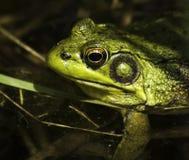 Frog (rana clamitans) Stock Image