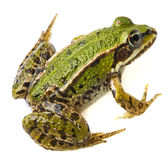 Frog rana Stock Photos