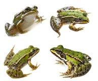 Frog rana esculenta Stock Photos