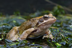 Frog (Rana Temporaria) Royalty Free Stock Photography