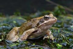 Frog (Rana Temporaria) Royalty Free Stock Photography