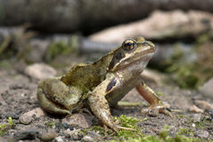 Frog (Rana Temporaria) Stock Images