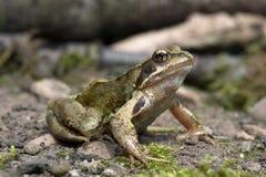 Frog (Rana Temporaria) Stock Images