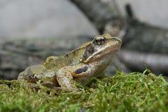 Frog (Rana Temporaria) Royalty Free Stock Photo