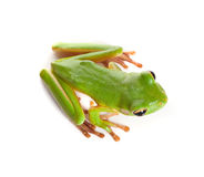Frog ready for jump. Top view on a white-lipped tree frog or Litoria Infrafrenata isolated on white Royalty Free Stock Photo