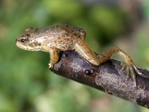 Frog ready to jump. Frog ready to leap from the branches Stock Images