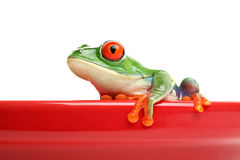 Frog on red pot isolated. Red-eyed tree frog on red ceramic pot isolated on white Stock Photo