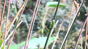 A frog on reed stock video