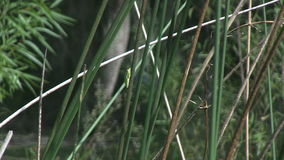 A frog on reed stock footage