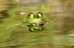 Frog Reflection. Frog peering above the water with perfect reflection Stock Image