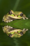 Frog reflection Royalty Free Stock Photos