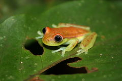 Frog reptile tropical animal Amasonia Stock Images