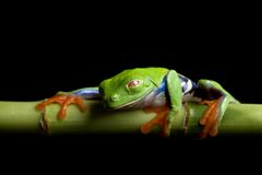 Frog at rest, isolated black royalty free stock photos