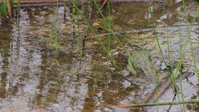 Frog resting in a lake. Large green frog resting in a lake stock footage