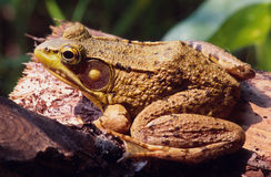 Frog resting on a log. Portrait of an eastern frog resting on a log Stock Photo