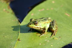 A Frog resting on a lotus leaf Stock Images