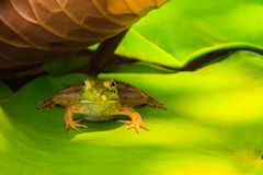 Frog Resting in the Shade Stock Images