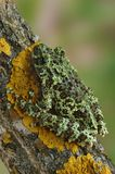 Frog Theloderma corticale Royalty Free Stock Photos