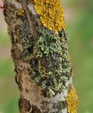 Frog Theloderma corticale. On the branch Royalty Free Stock Image