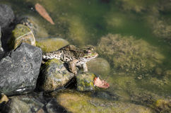 Frog on a river side Stock Image