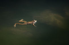 Frog on a river side Stock Photography
