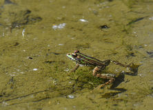 Frog in the river Stock Image