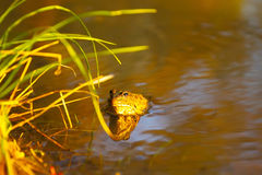 Frog in river water Stock Photos
