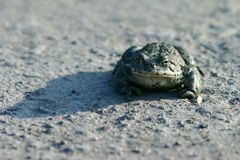 Frog on road. Closeup of single frog on road Royalty Free Stock Image